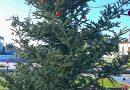 Έκλεψαν τον στολισμό από τοΧριστουγεννιάτικο δέντρο στο Κουρτάκι Αργολίδας
